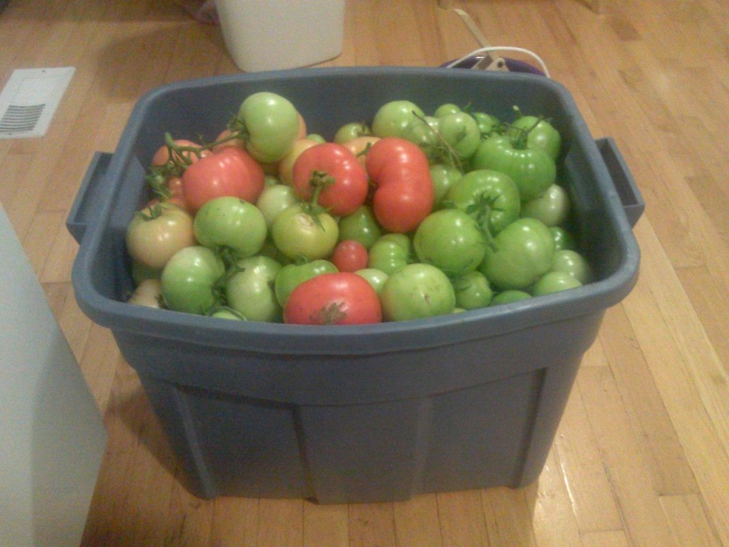 82 lbs of tomatoes