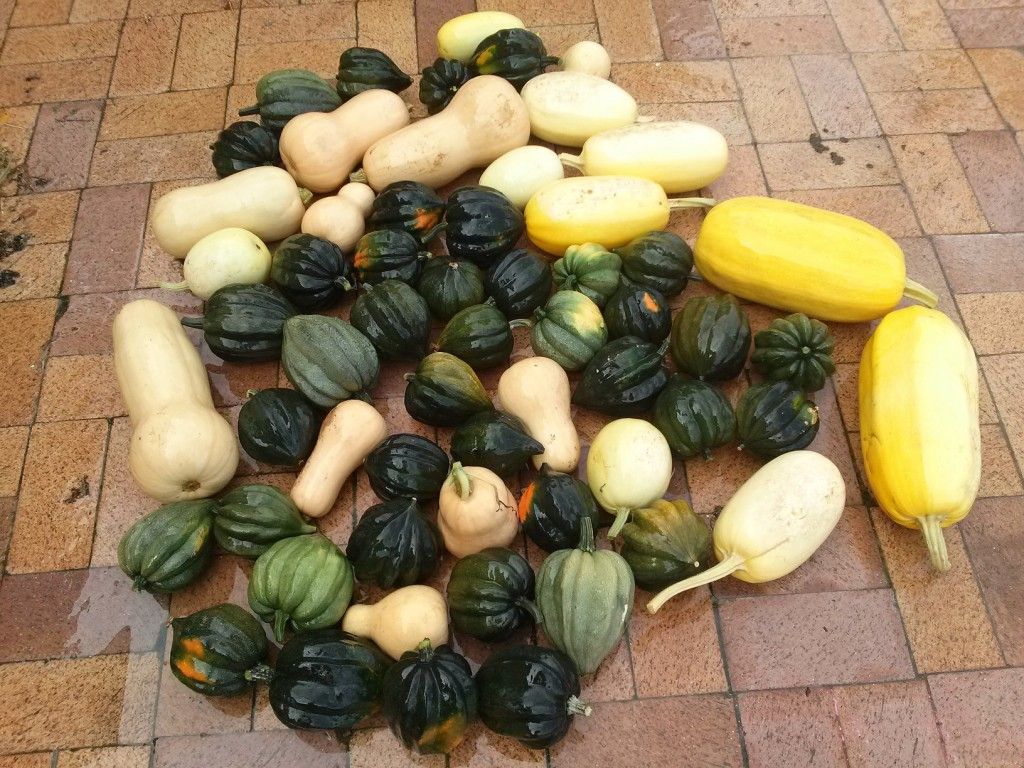 squash harvest from the main squash garden bed