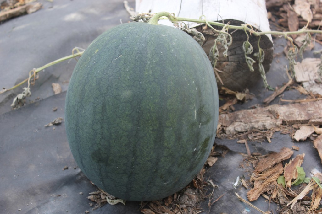 larger watermelon