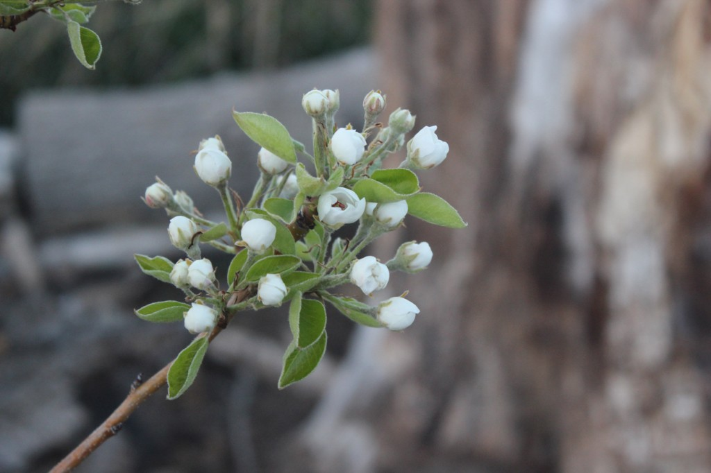 pear tree blooms